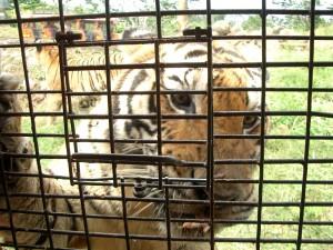 ズービックサファリでは虎の放し飼いがされ、人間がオリにはいって見物する