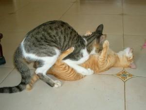なんと正常位で交尾する猫