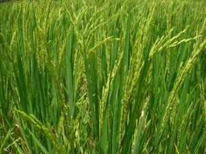 農場には米が実り始めていた
