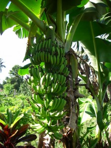 南国定番のバナナもたわわに実っている