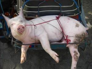 バプティスマルのパーティに供与される子豚