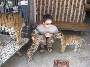 ズービックでは虎の赤ちゃんと戯れることができる