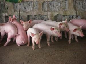 農場の主役は仔豚達だ