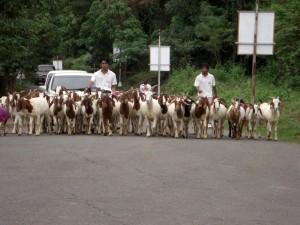 ズービックで飼われているヤギの散歩に遭遇